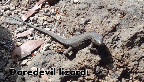 Lizard_Tenerife