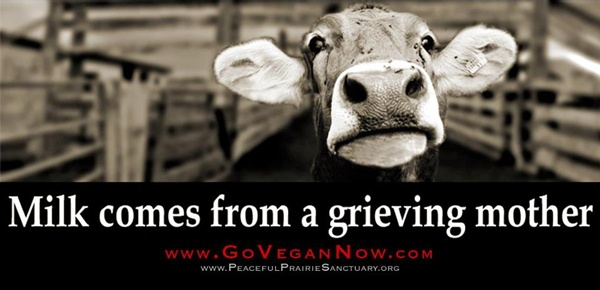 Milk Comes From A Grieving Mother