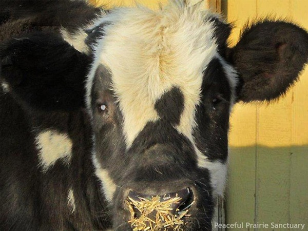Rescued calf at Peaceful Prarie Sanctuary